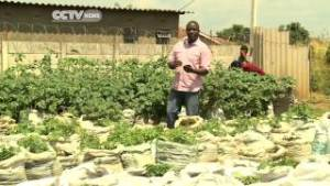 CCTV sack potato farming